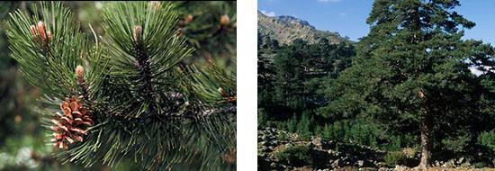 Diff rentes esp ces pins de france - Differentes especes de pins ...